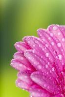 fleur de gerber colorée