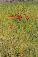 fleurs rouges dans l'herbe verte