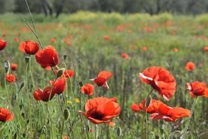 Prairie de fleurs rouges pendant la journée
