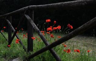 Fleurs pétales rouges près d'une clôture en bois marron