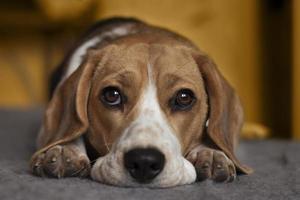 triste beagle photo