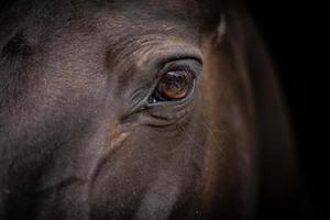 tête de cheval - gros plan des yeux photo
