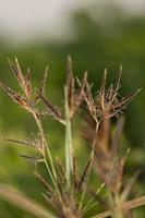 herbe brune sauvage
