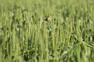Oiseau semencier brun dans le champ de blé vert