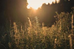 Photographie de mise au point sélective de plantes dans un champ de blé au coucher du soleil