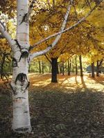 Whitebark tree dans les bois d'automne