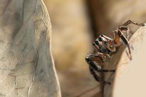 Araignée sauteuse brune sur une feuille sèche
