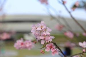 belle fleur de cerisier à hong kong