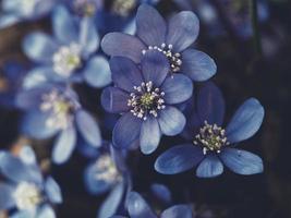 géraniums en fleurs