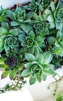 plantes succulentes dans un pot photo