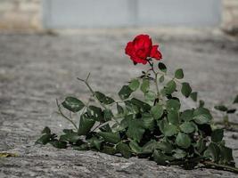 rose rouge au sol