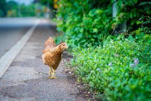 Poule brune à la recherche de nourriture sur la route