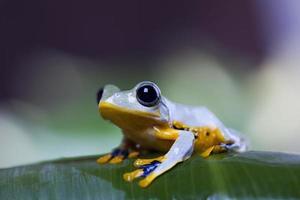 grenouille exotique en indonésie