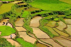 Indonésie, sulawesi, tana toraja, rizières en terrasses