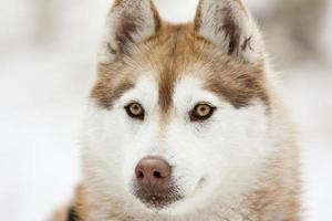 husky sibérien dans la neige photo