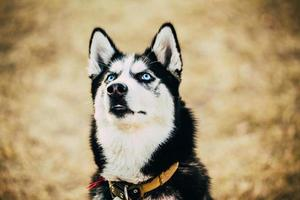 Jeune chien esquimau chiot husky heureux photo