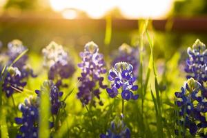 Texas fleurs sauvages