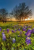 Bluebonnet ou fleurs sauvages de lupin déposées au coucher du soleil