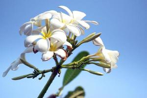 fleur de plumeria blanche photo