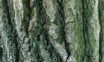 mousse verte sur l'écorce des arbres photo