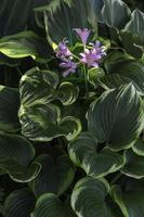 fleurs délicates violettes sur hosta photo