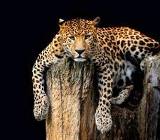 léopard isolé sur fond noir photo
