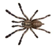 Vue grand angle de l'araignée tarentule, poecilotheria metallica, fond blanc.