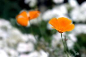 pavot de Californie photo