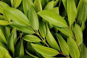 Fond de feuilles de chamuang (garcinia cowa roxb.)