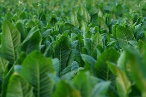 champ de tabac photo