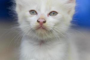 gros plan, de, a, chaton blanc
