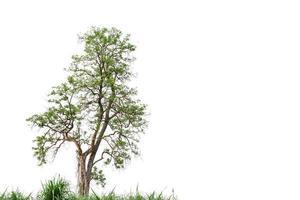 arbre nature vert isolé sur fond blanc photo