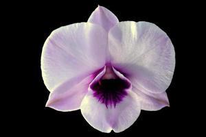 fleur d'orchidée blanche isolée