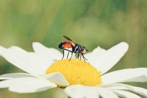 voler sur une fleur de marguerite photo
