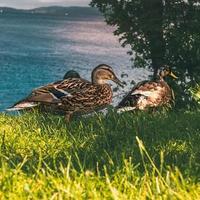 Canards près du Loch Ness en Ecosse