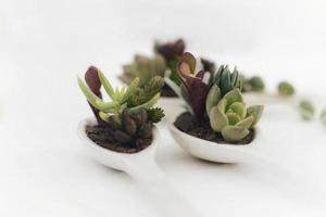 petites plantes succulentes dans des cuillères en céramique