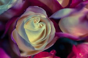 gros plan, roses photo