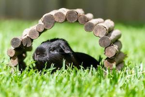 Sydney, Australie, 2020 - cochon d'Inde noir sous une arche en bois
