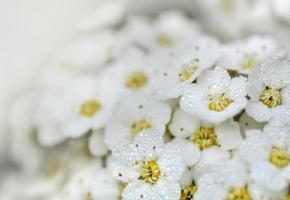 rosée sur fleurs blanches