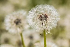 pissenlit fleuri