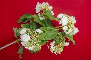 vue de dessus d'une branche de viburnum en fleurs