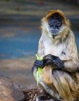 singe avec de la nourriture dans les mains