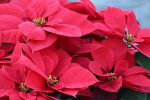 gros plan, de, poinsettias