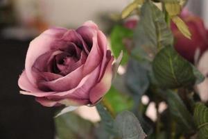 gros plan, de, rose pourpre photo