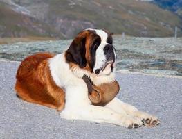st. chien bernard