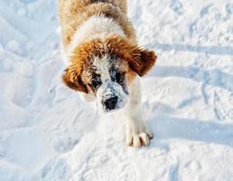 chien st bernard