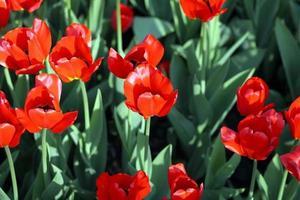 tulipe rouge au printemps photo