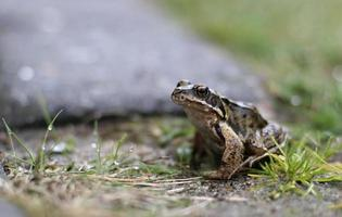 grenouille assise sur l'herbe photo