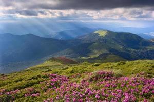 rhododendron dans les Carpates photo