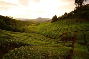 champs de plantation de thé sur la montagne photo